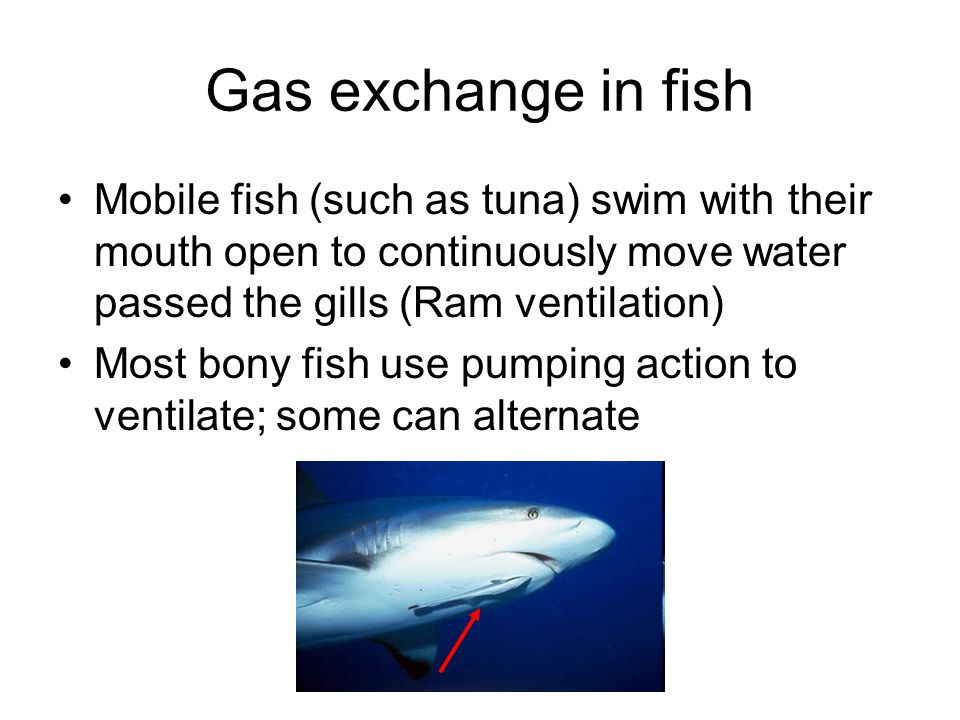 Gas exchange in fish Mobile fish (such as tuna) swim with their mouth open to continuously move water passed the gills (Ram ventilation)