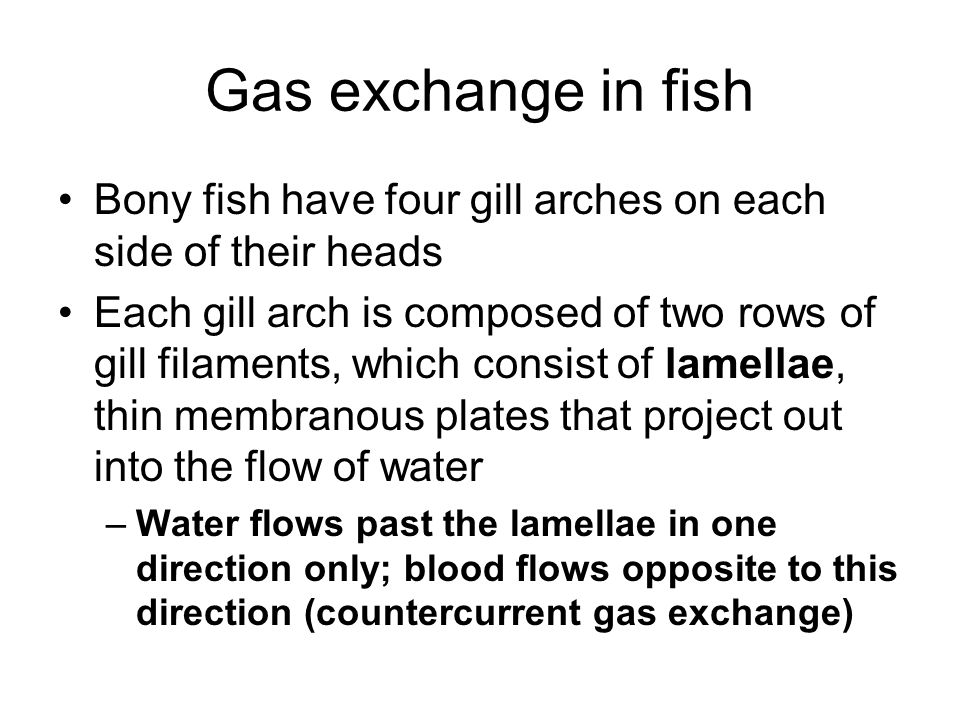 Gas exchange in fish Bony fish have four gill arches on each side of their heads.