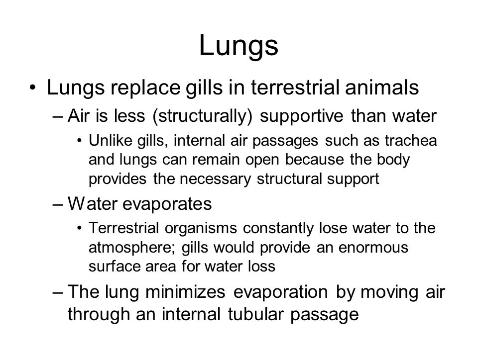 Lungs Lungs replace gills in terrestrial animals