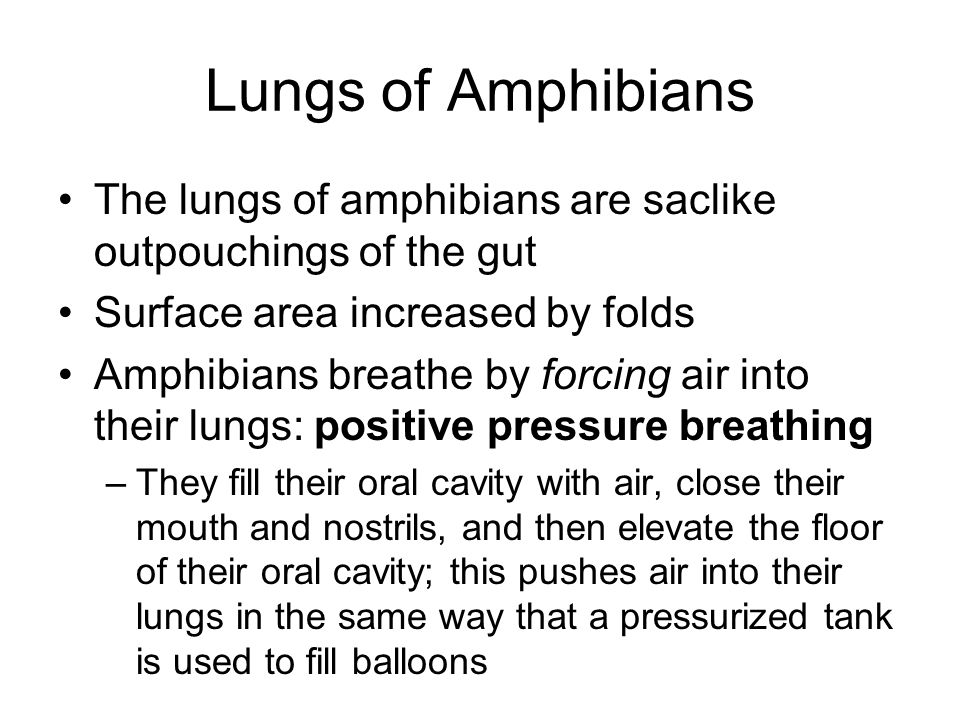 Lungs of Amphibians The lungs of amphibians are saclike outpouchings of the gut. Surface area increased by folds.