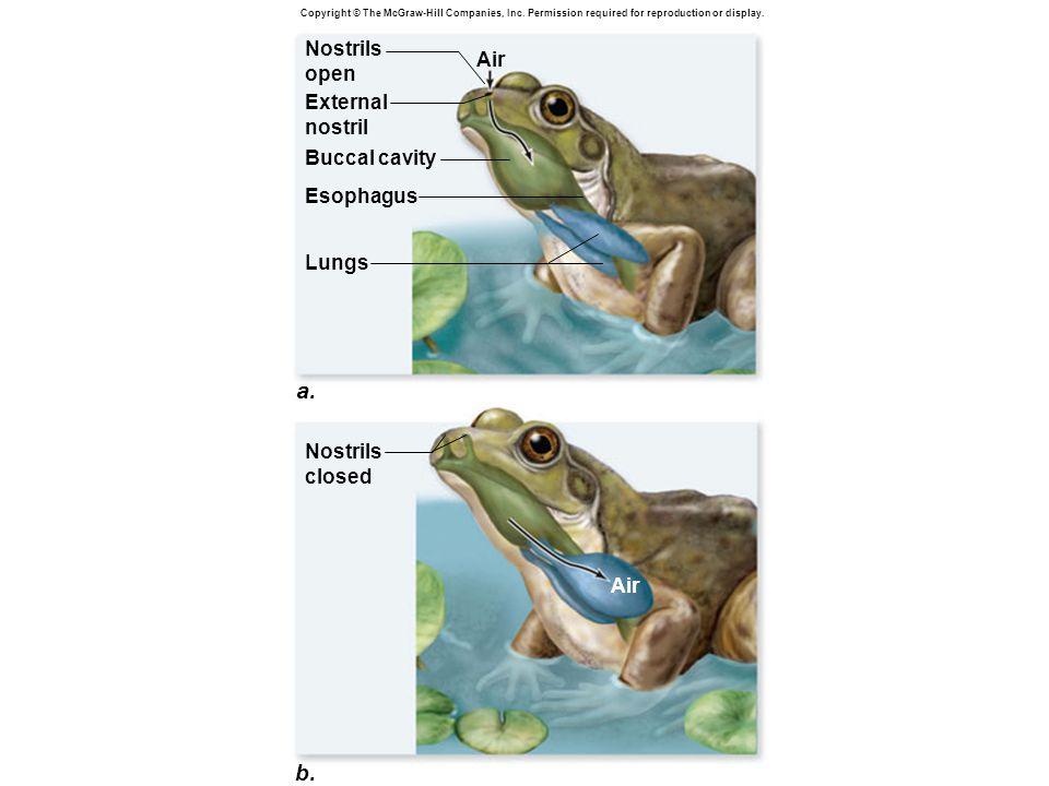 a. b. Nostrils open Air External nostril Buccal cavity Esophagus Lungs