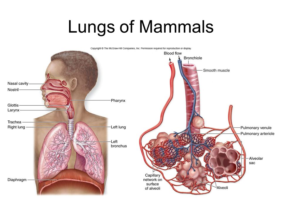 Lungs of Mammals
