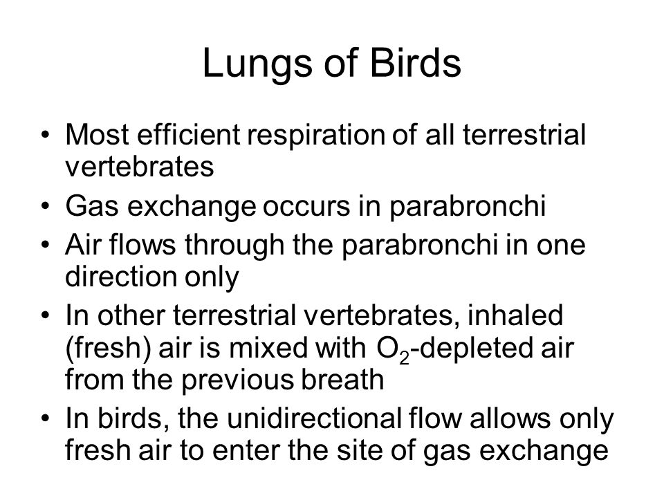 Lungs of Birds Most efficient respiration of all terrestrial vertebrates. Gas exchange occurs in parabronchi.