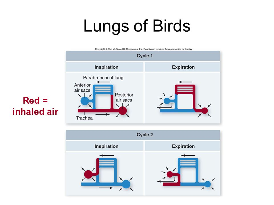 Lungs of Birds Red = inhaled air