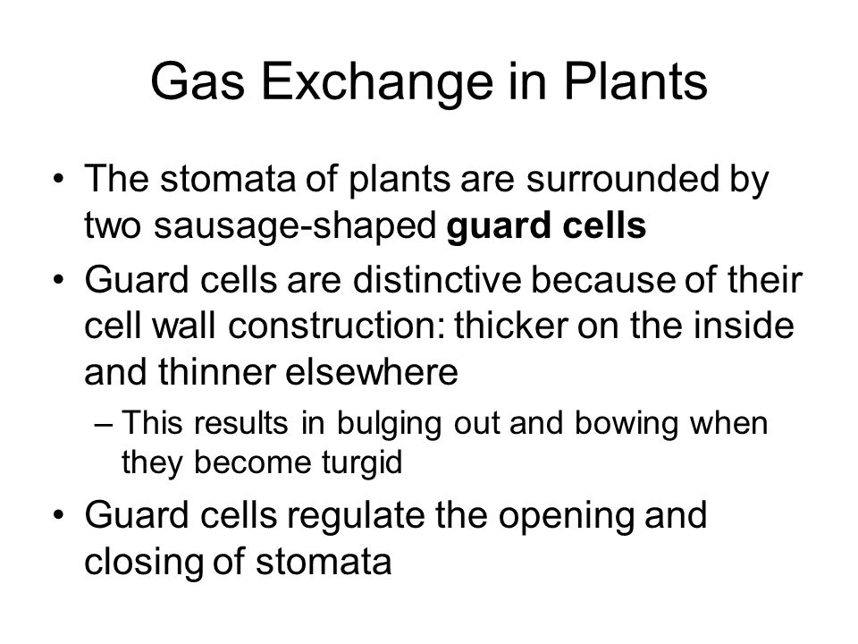 Gas Exchange in Plants The stomata of plants are surrounded by two sausage-shaped guard cells.