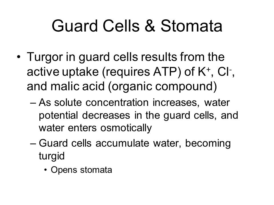 Guard Cells & Stomata Turgor in guard cells results from the active uptake (requires ATP) of K+, Cl-, and malic acid (organic compound)