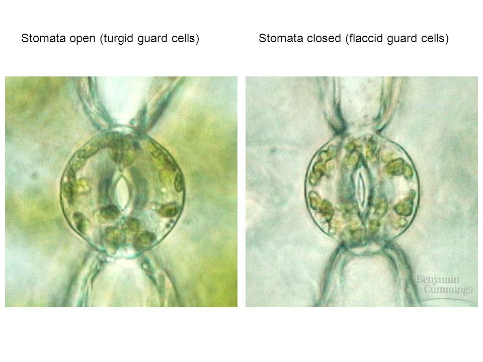 Stomata open (turgid guard cells)