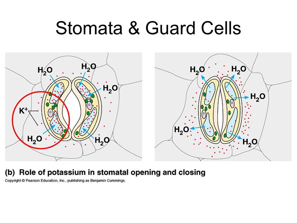 Stomata & Guard Cells