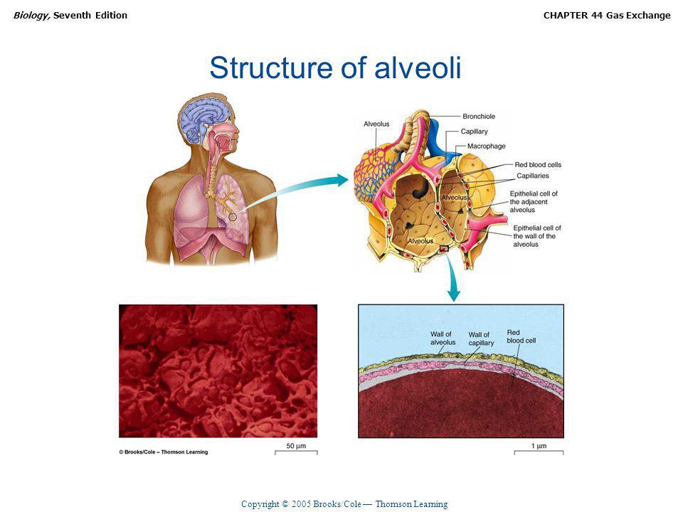 Structure of alveoli