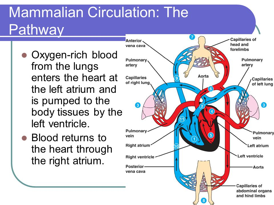 Mammalian Circulation: The Pathway