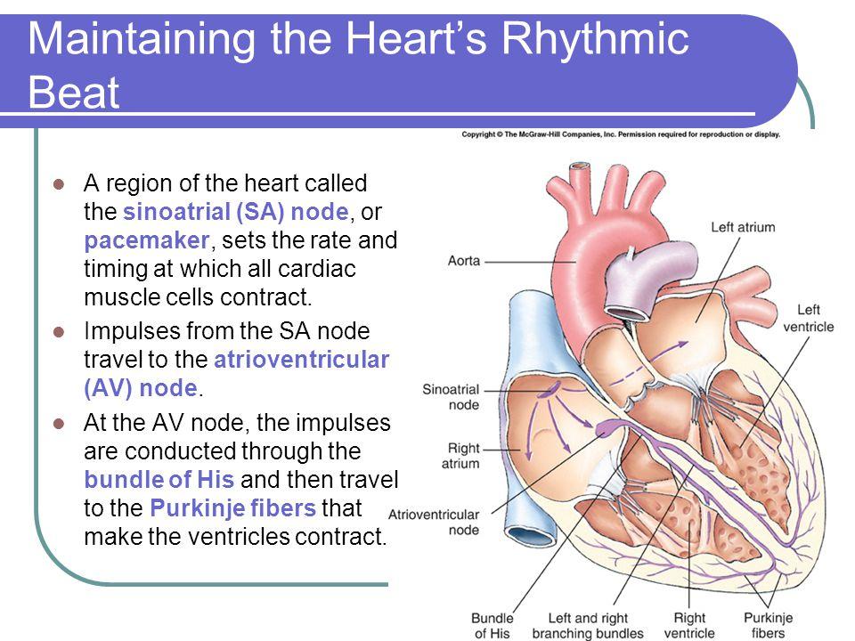 Maintaining the Heart's Rhythmic Beat