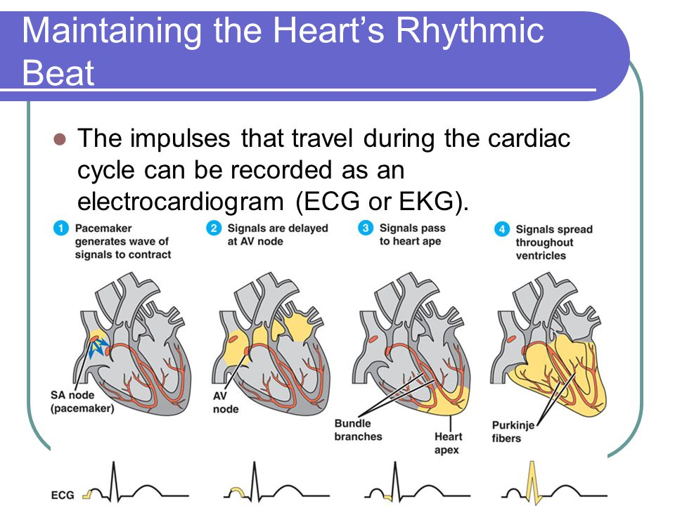 Maintaining the Heart's Rhythmic Beat