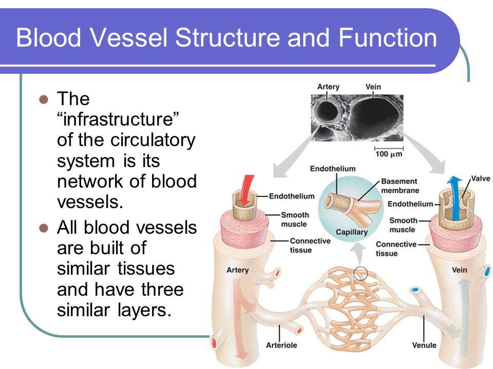 Blood Vessel Structure and Function