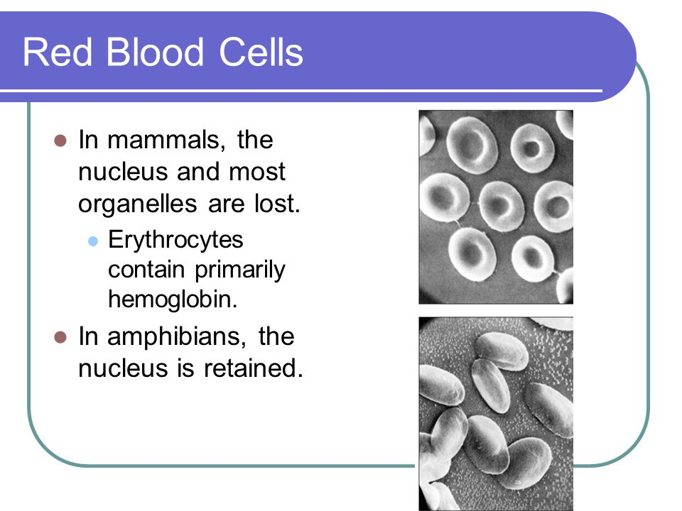 Red Blood Cells In mammals, the nucleus and most organelles are lost.