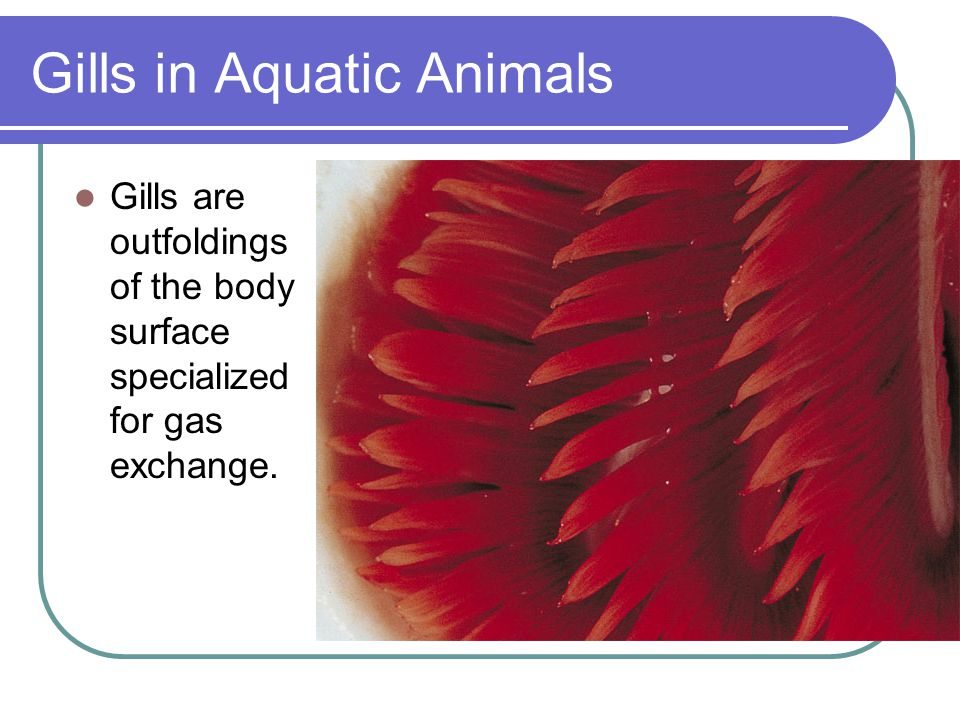 Gills in Aquatic Animals