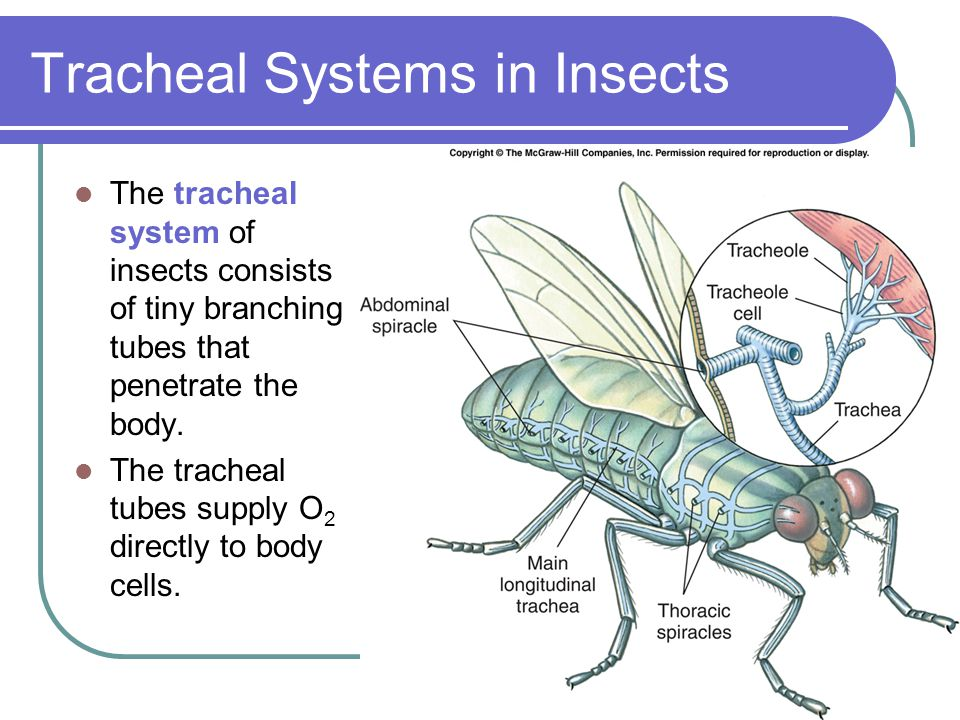 Tracheal Systems in Insects