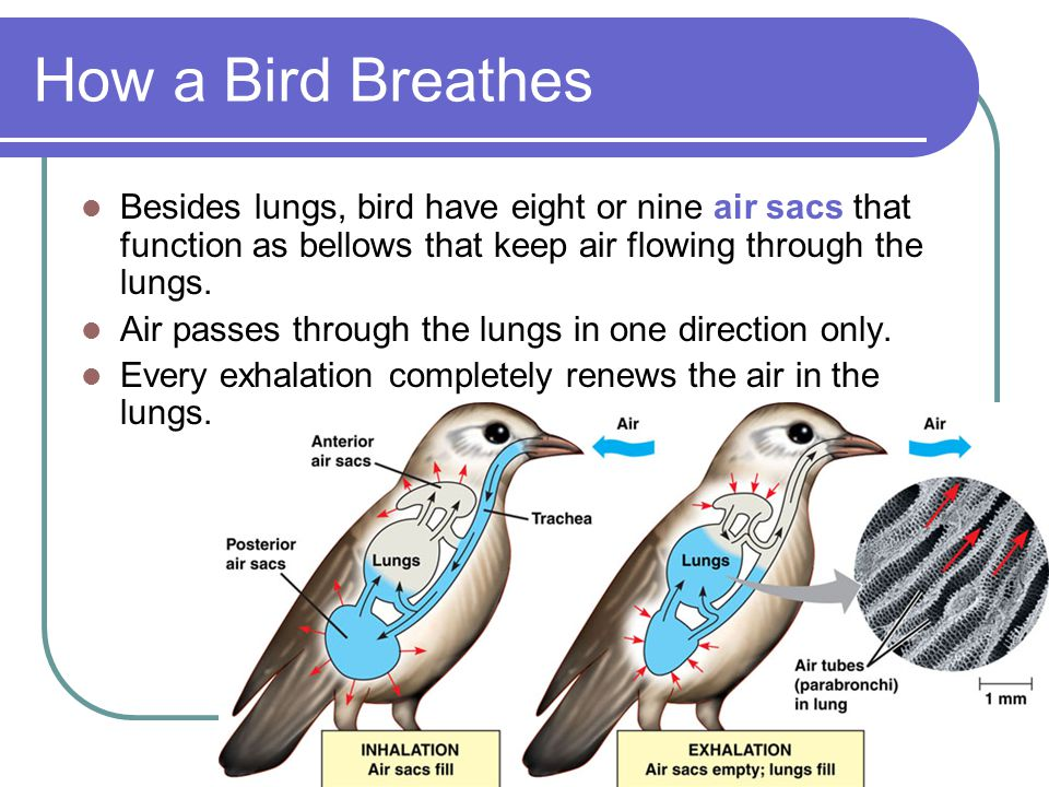 How a Bird Breathes Besides lungs, bird have eight or nine air sacs that function as bellows that keep air flowing through the lungs.