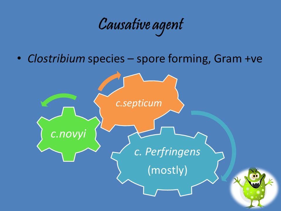 Causative agent c.novyi Clostribium species – spore forming, Gram +ve