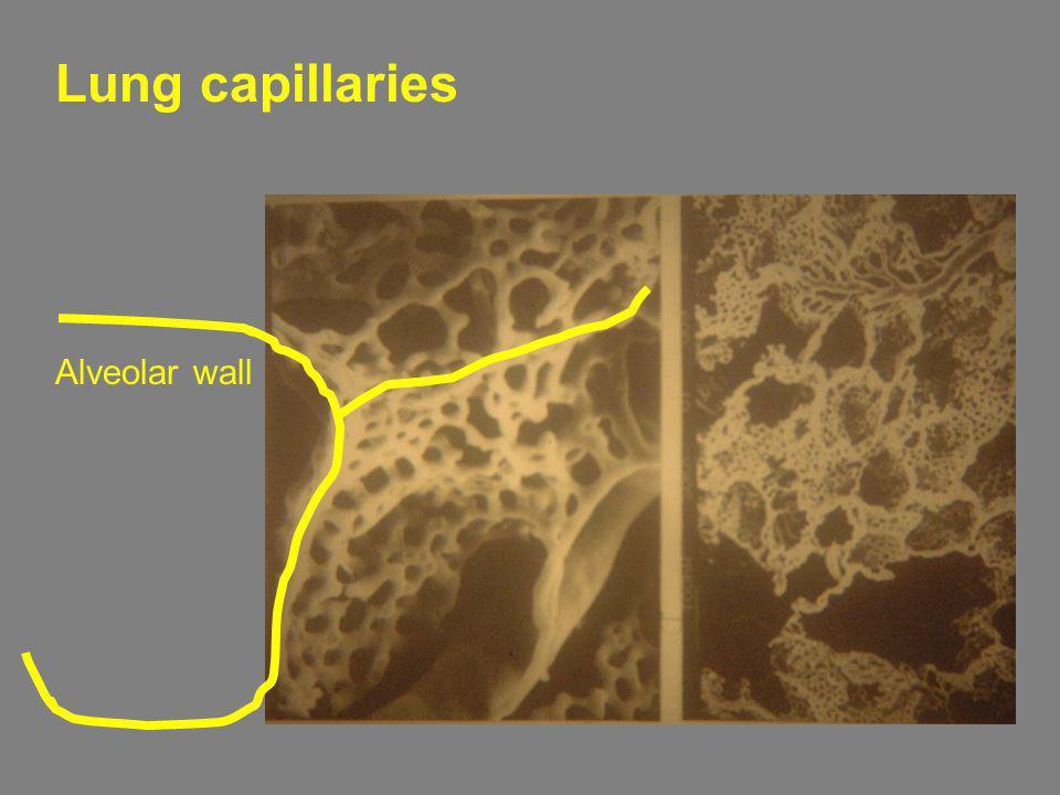 Lung capillaries Alveolar wall
