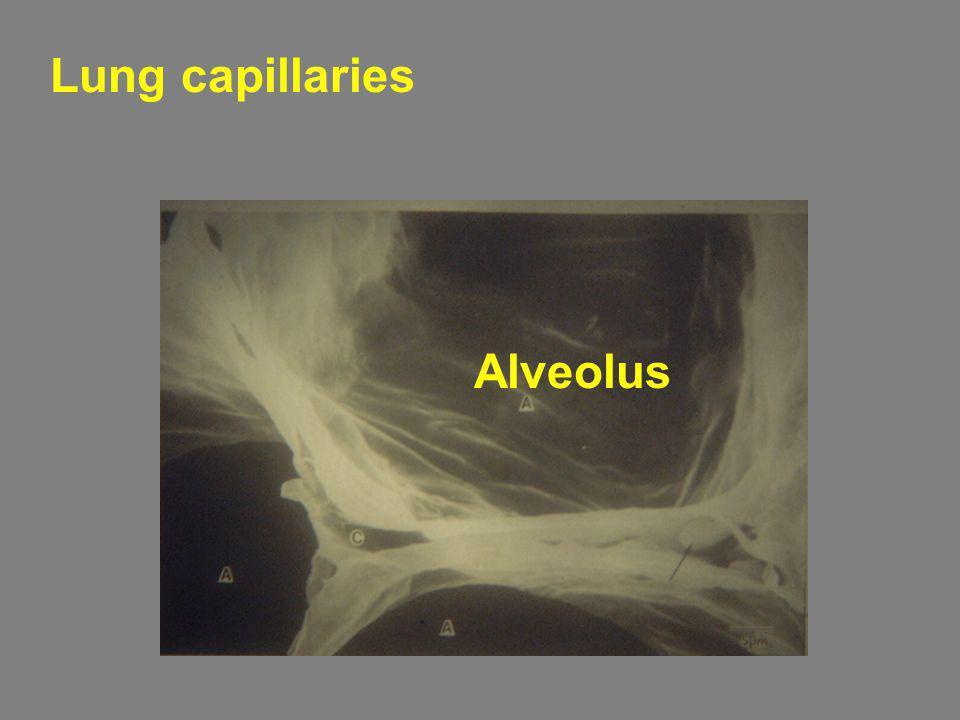 Lung capillaries Alveolus