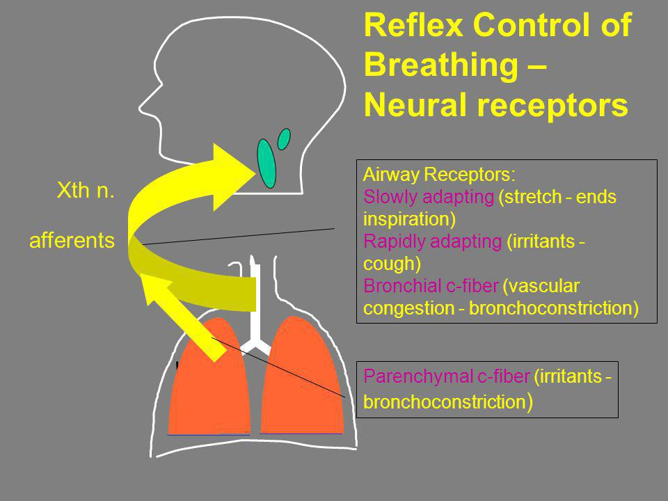 Reflex Control of Breathing – Neural receptors