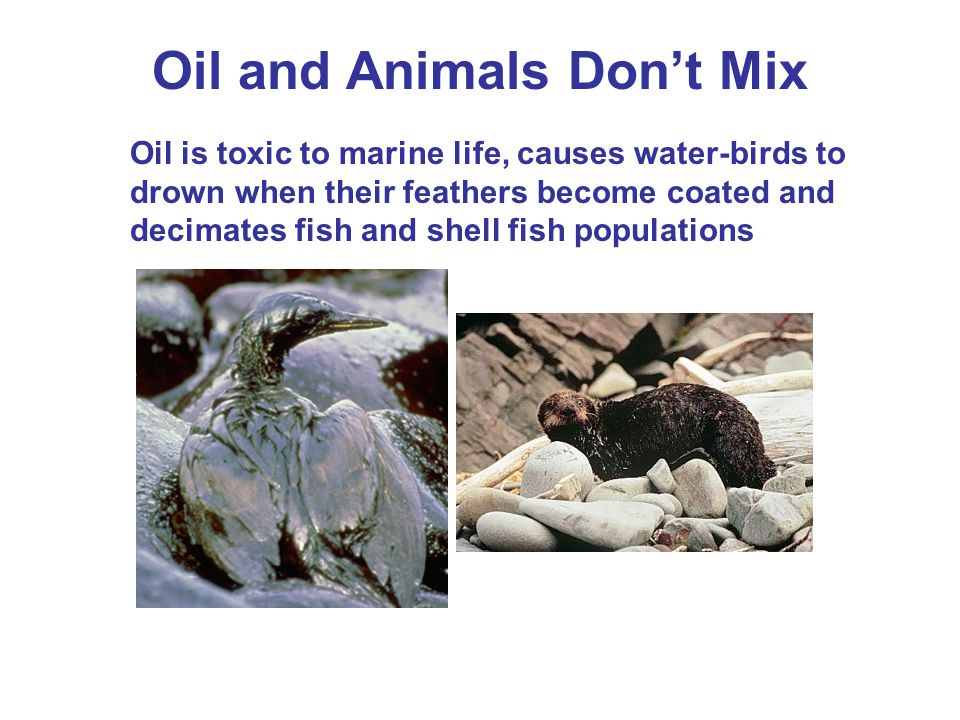 Oil and Animals Don't Mix