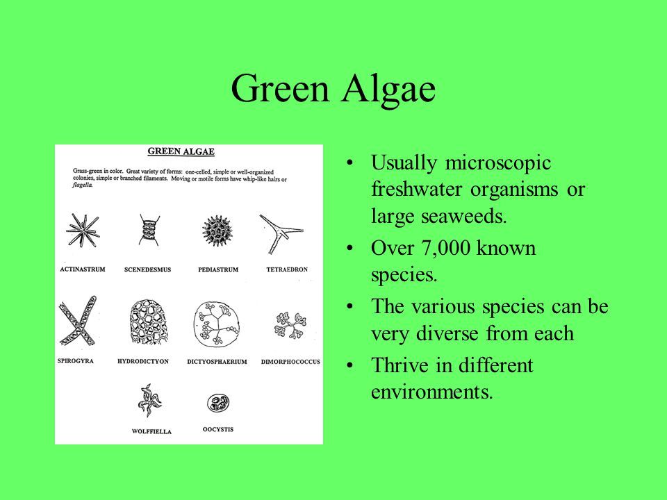 Green Algae Usually microscopic freshwater organisms or large seaweeds. Over 7,000 known species. The various species can be very diverse from each.
