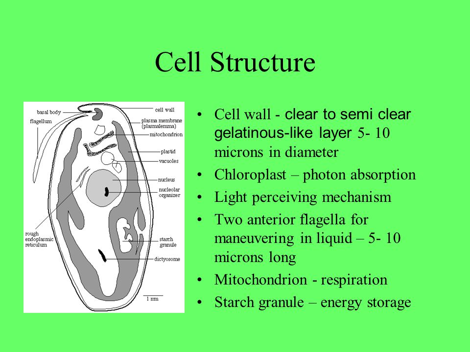 Cell Structure Cell wall - clear to semi clear gelatinous-like layer microns in diameter. Chloroplast – photon absorption.