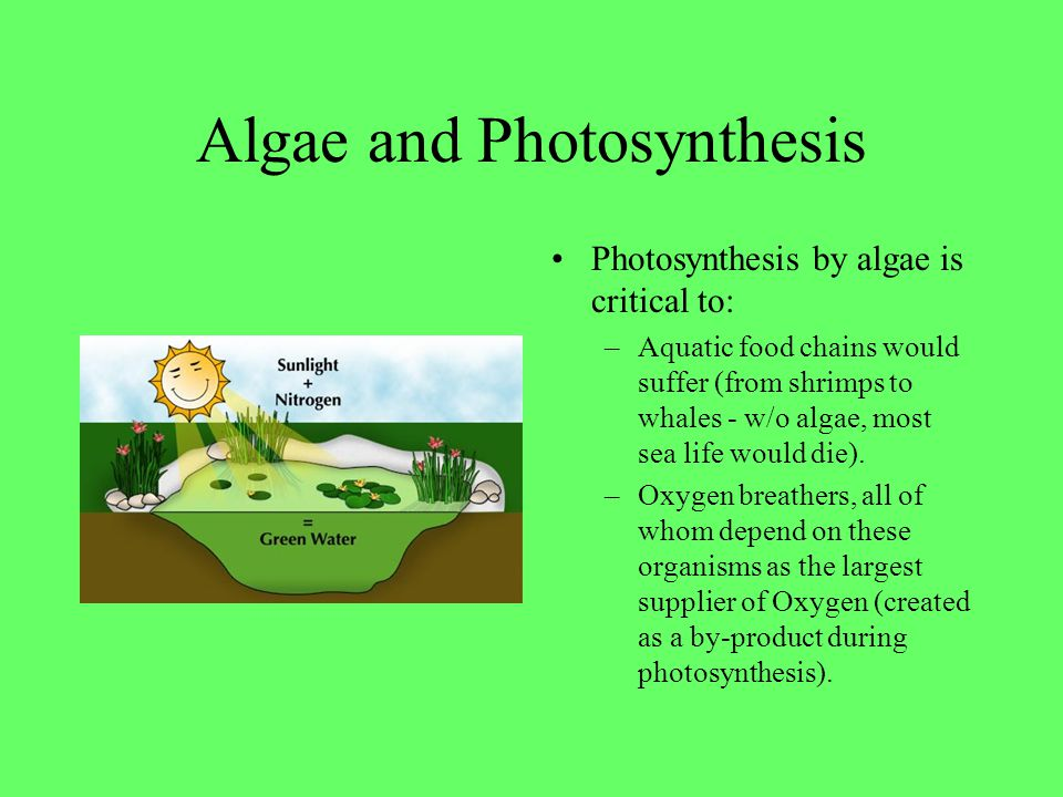 Algae and Photosynthesis