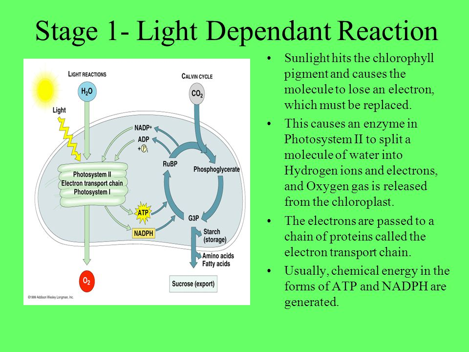 Stage 1- Light Dependant Reaction