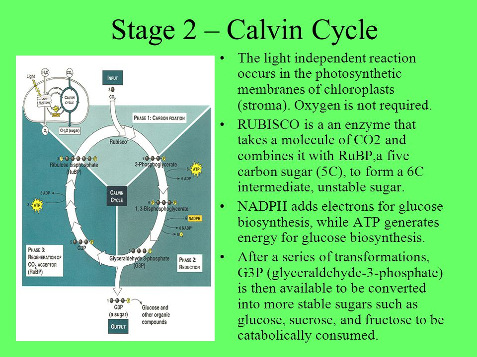 Stage 2 – Calvin Cycle The light independent reaction occurs in the photosynthetic membranes of chloroplasts (stroma). Oxygen is not required.