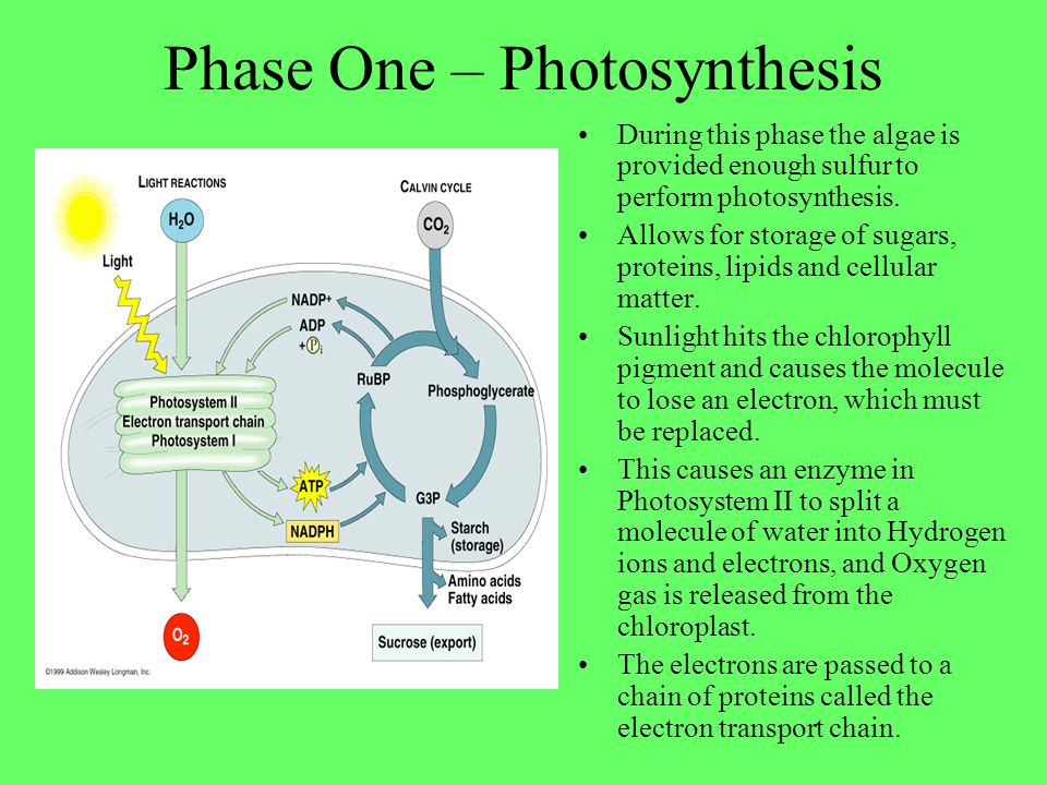 Phase One – Photosynthesis