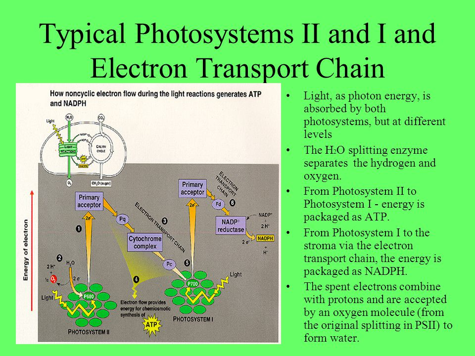 Typical Photosystems II and I and Electron Transport Chain