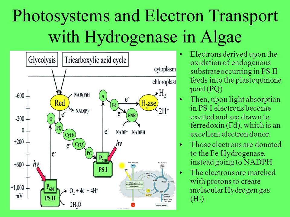 Photosystems and Electron Transport with Hydrogenase in Algae