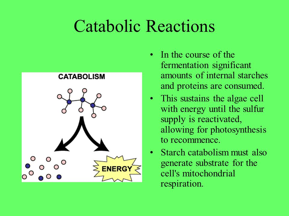 Catabolic Reactions In the course of the fermentation significant amounts of internal starches and proteins are consumed.