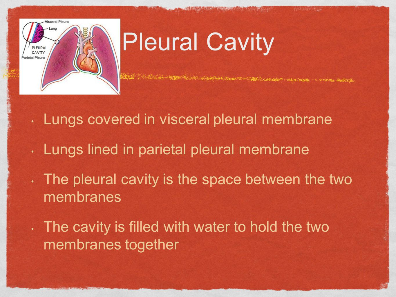 Pleural Cavity Lungs covered in visceral pleural membrane