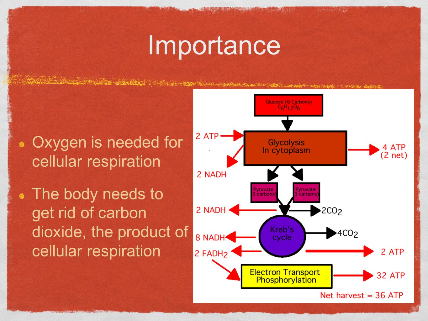 Importance Oxygen is needed for cellular respiration