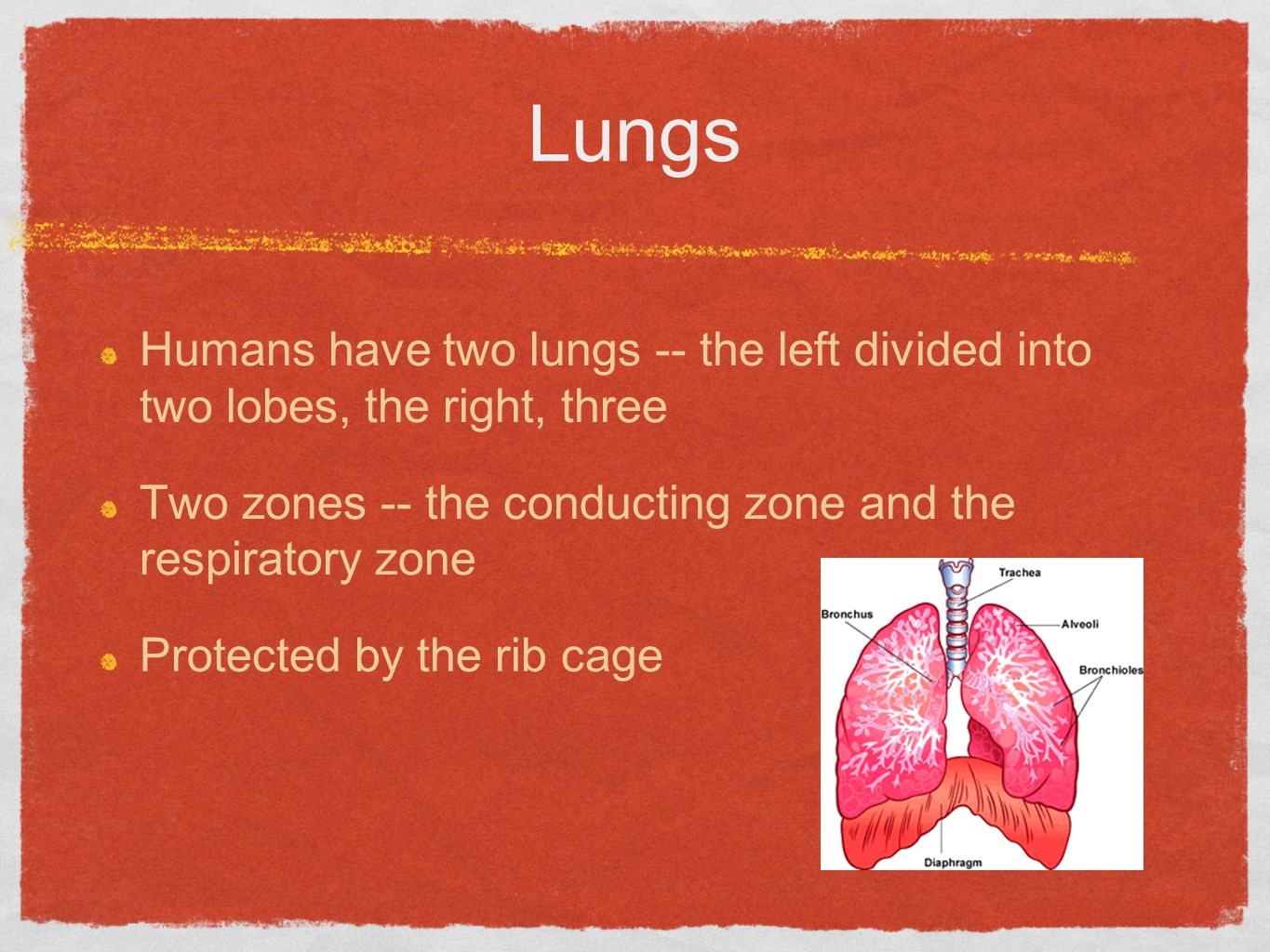 Lungs Humans have two lungs -- the left divided into two lobes, the right, three. Two zones -- the conducting zone and the respiratory zone.