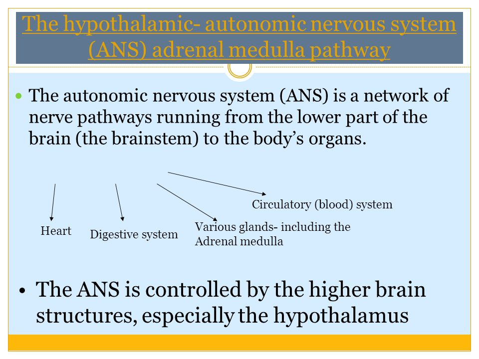 The hypothalamic- autonomic nervous system (ANS) adrenal medulla pathway