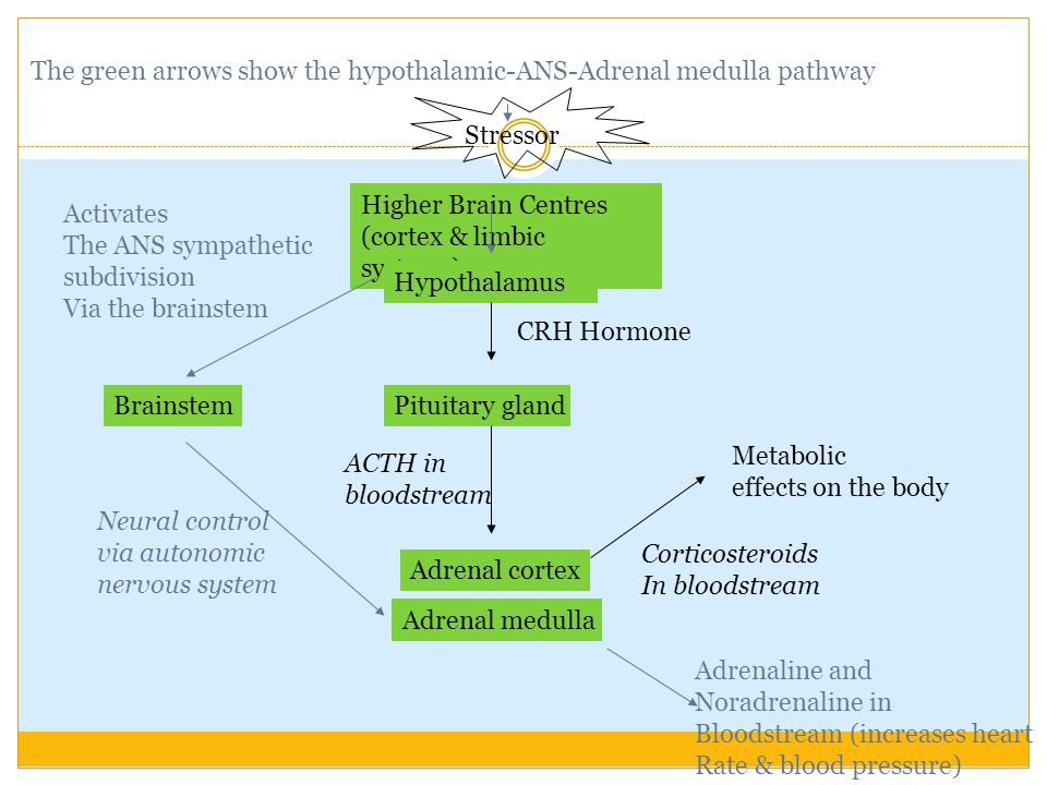 The green arrows show the hypothalamic-ANS-Adrenal medulla pathway