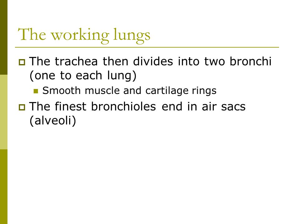The working lungs The trachea then divides into two bronchi (one to each lung) Smooth muscle and cartilage rings.