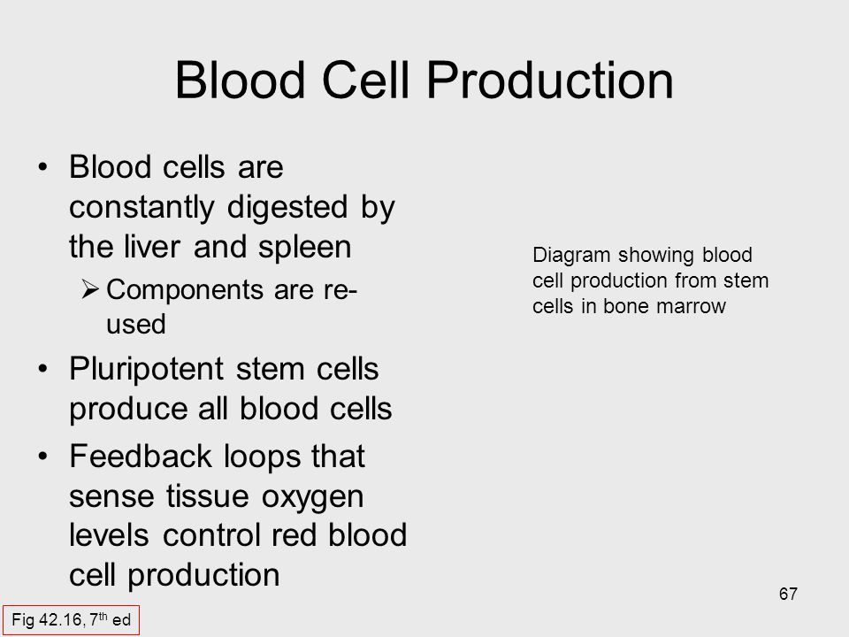 Blood Cell Production Blood cells are constantly digested by the liver and spleen. Components are re-used.