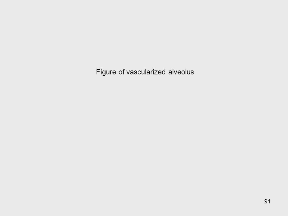 Figure of vascularized alveolus