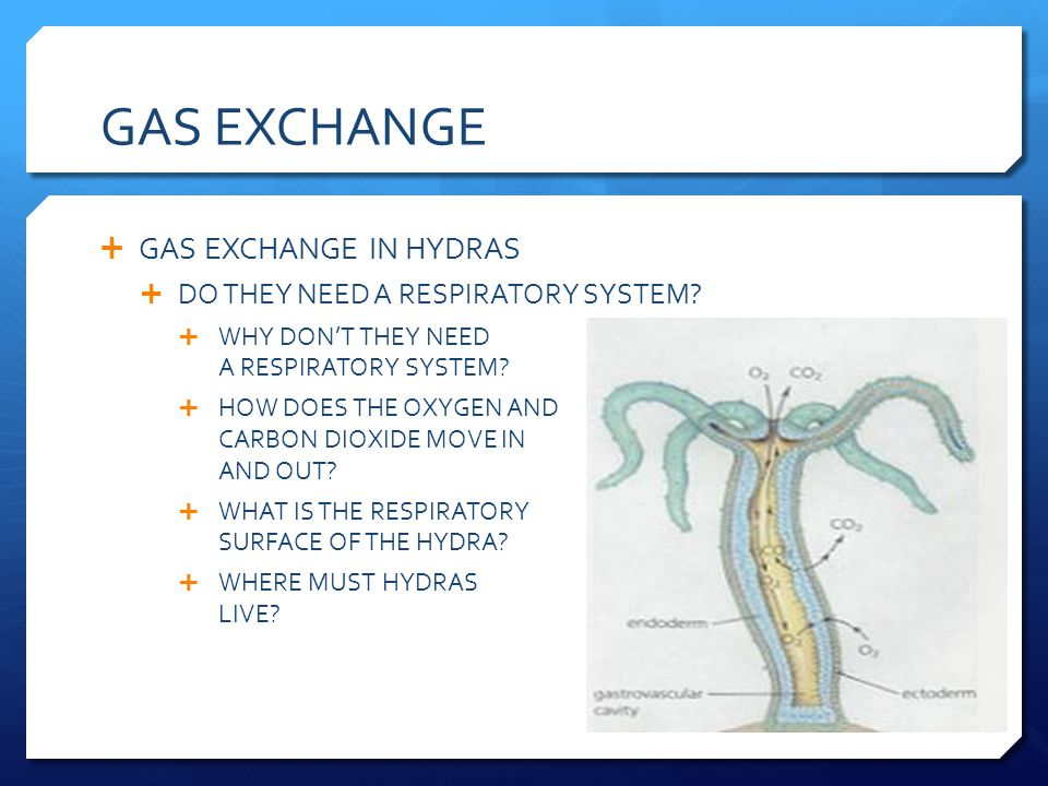 GAS EXCHANGE GAS EXCHANGE IN HYDRAS DO THEY NEED A RESPIRATORY SYSTEM