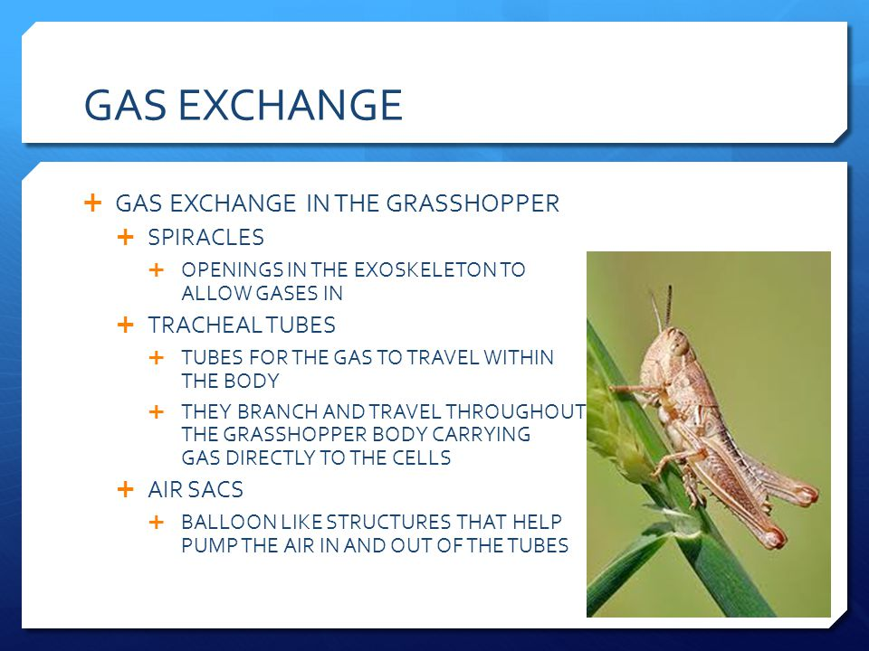 GAS EXCHANGE GAS EXCHANGE IN THE GRASSHOPPER SPIRACLES TRACHEAL TUBES
