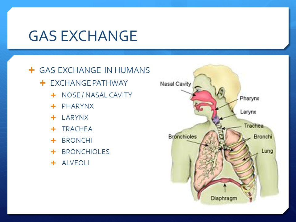 GAS EXCHANGE GAS EXCHANGE IN HUMANS EXCHANGE PATHWAY