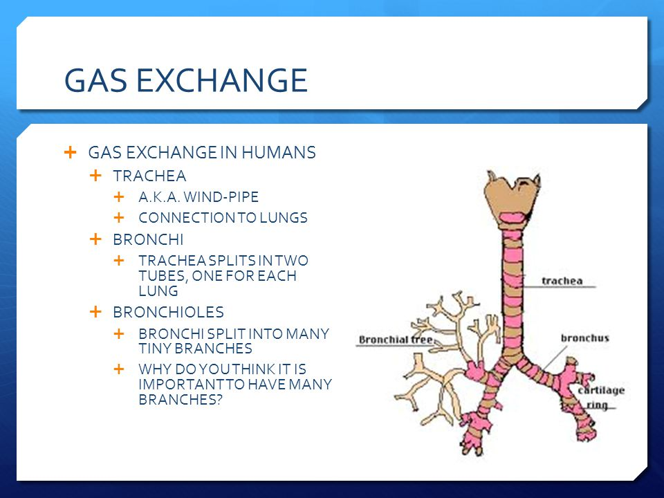GAS EXCHANGE GAS EXCHANGE IN HUMANS TRACHEA BRONCHI BRONCHIOLES