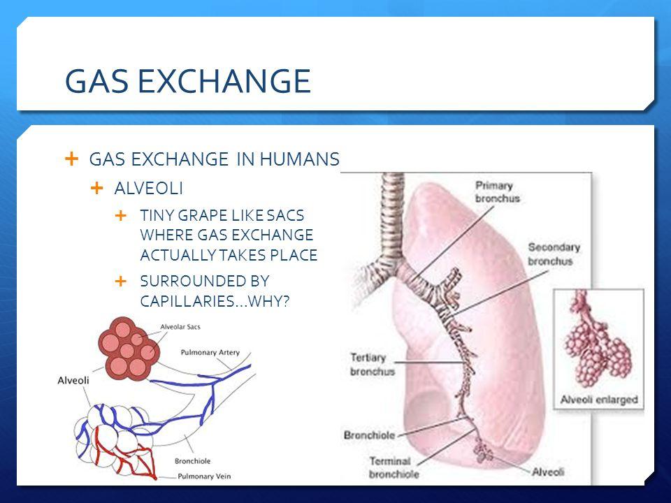 GAS EXCHANGE GAS EXCHANGE IN HUMANS ALVEOLI