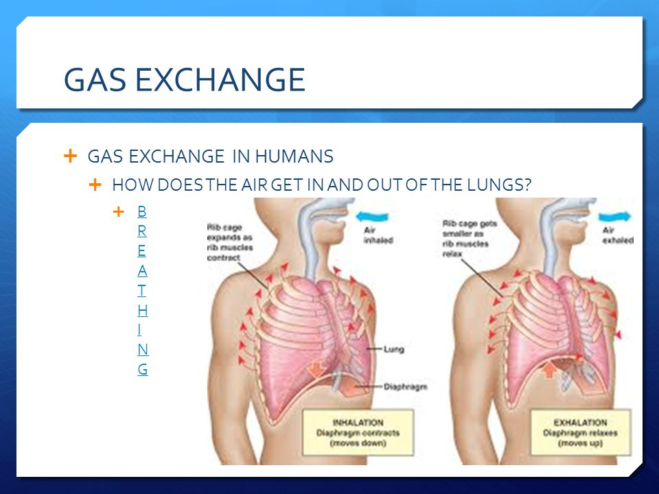 GAS EXCHANGE GAS EXCHANGE IN HUMANS