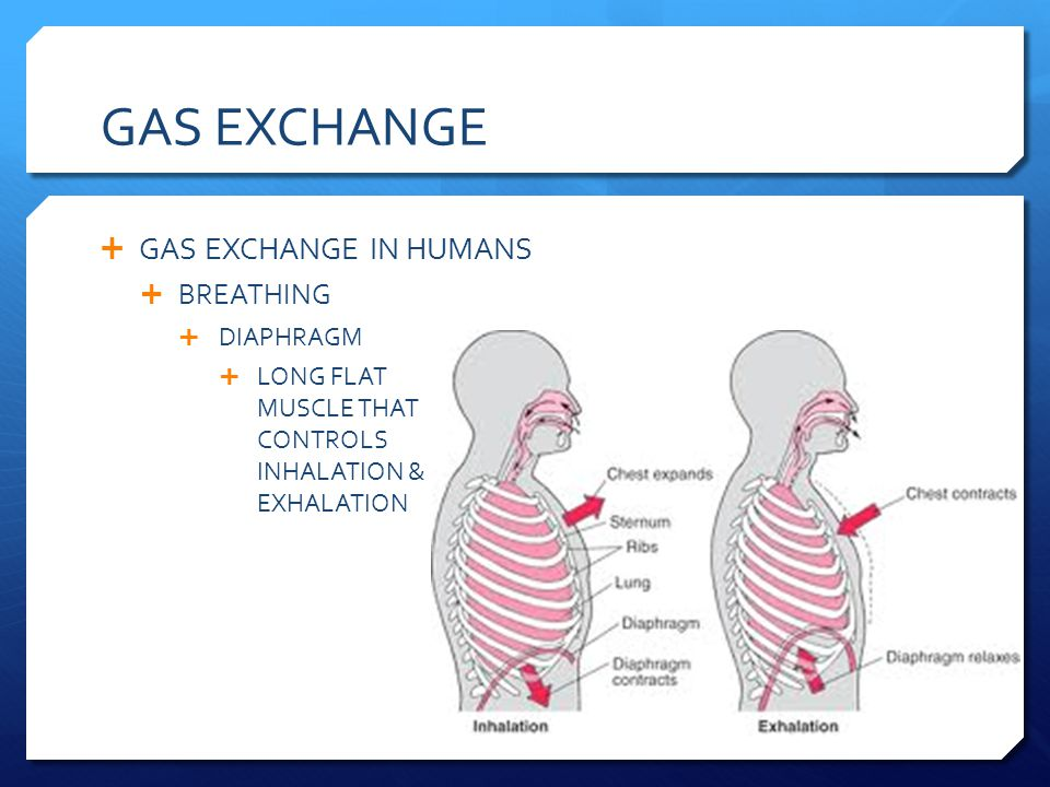 GAS EXCHANGE GAS EXCHANGE IN HUMANS BREATHING DIAPHRAGM